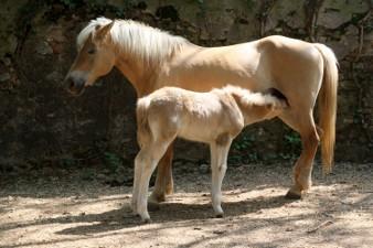Due cavalli nel maneggio